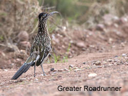 Greater Roadrunner © 2006  F. S. Simpson