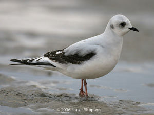 Ross's Gull ©2006 Fraser Simpson