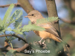 Say's Phoebe © 2006  F. S. Simpson