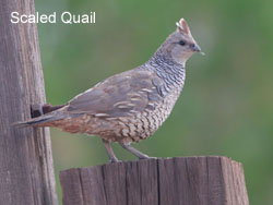 Scaled Quail © 2006  F. S. Simpson