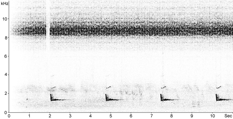 Sonogram of male Eurasian Scops Owl song/territorial call