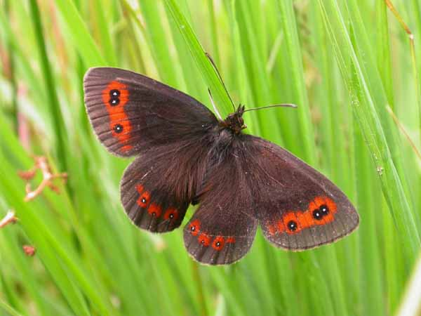 Scotch Argus (Erebia aethiops) �  Fraser Simpson