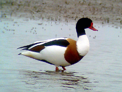 Phonescoped Shelduck ©2006 Fraser Simpson