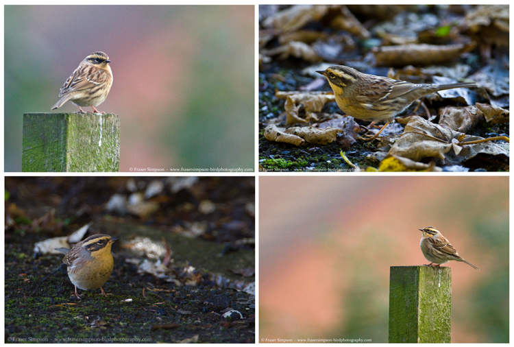 Siberian Accentor (Prunella montanella), Easington, East Yorkshire 15-16 October 2016 � Fraser Simpson  �  www.fssbirding.org.uk