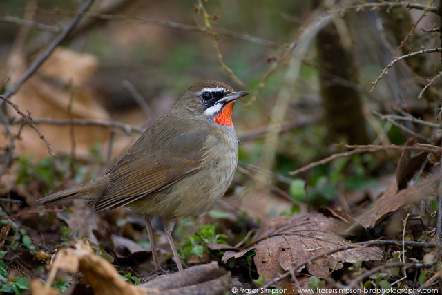 Siberian Rubythroat © 2016 Fraser Simpson