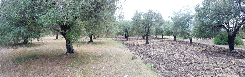 Olive grove between Skala Vasilikon and Skamnioudi © Fraser Simpson  ·  www.fssbirding.org.uk