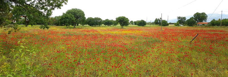 Poppy meadow, Skamnioudi © Fraser Simpson  ·  www.fssbirding.org.uk