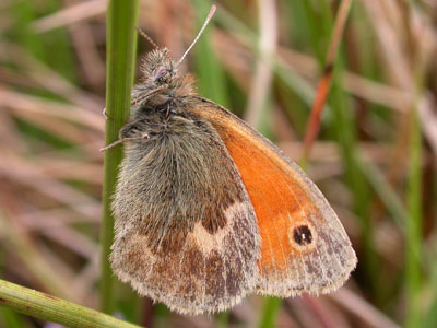 Small Heath (Coenonympha pamphilus) �  Fraser Simpson