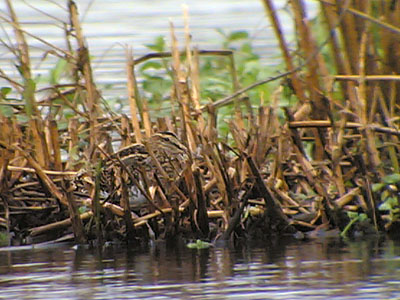 Common Snipe, Phonescoping �05 Fraser Simpson