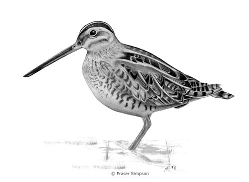 Common Snipe drawing © Fraser Simpson
