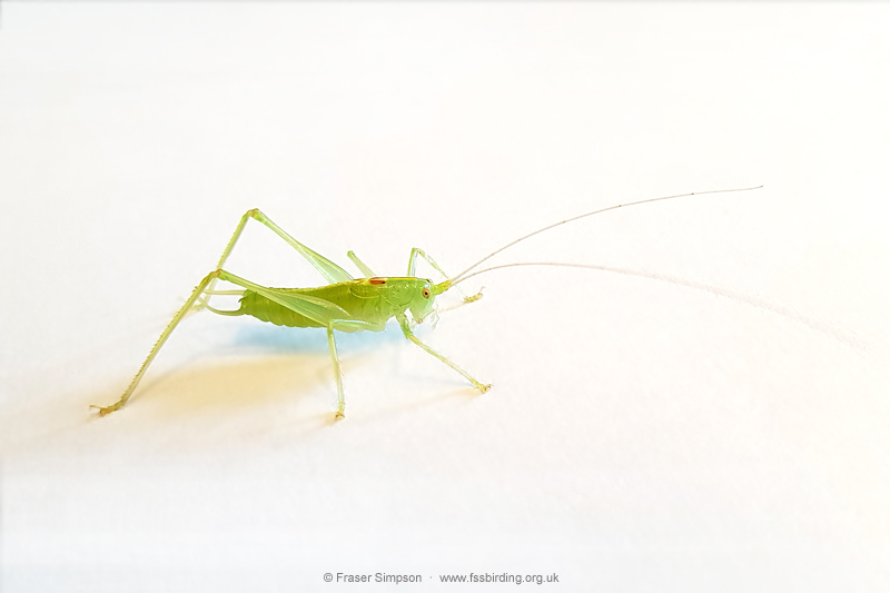 Southern Oak Bush-cricket (Meconema meridionale) © Fraser Simpson