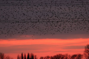 Starling Roost at Seventy Acres Lake ©Fraser Simpson