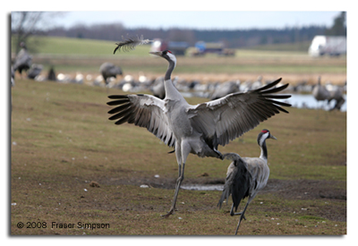 Crane dancing with a feather © 2008 Fraser Simpson