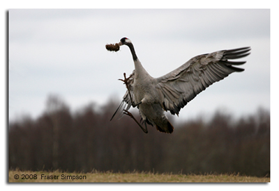 Crane dancing with lump of turf © 2008 Fraser Simpson