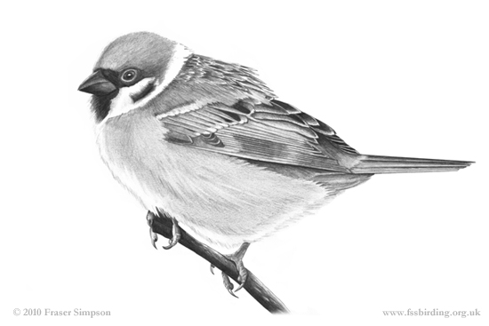 Tree Sparrow drawing © Fraser Simpson