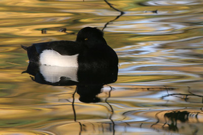 Tufted Duck ©2005 Fraser Simpson