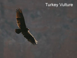 Turkey Vulture © 2006  F. S. Simpson