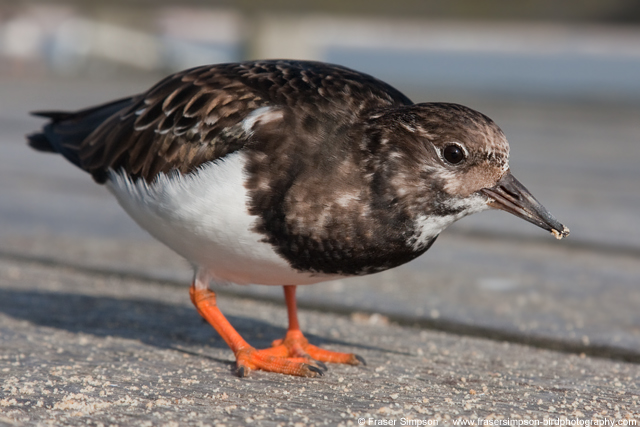 Turnstone at Southend, Essex � Fraser Simpson