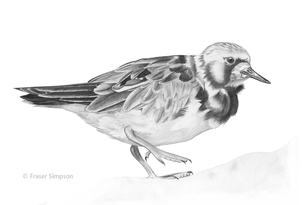 Ruddy Turnstone drawing © Fraser Simpson