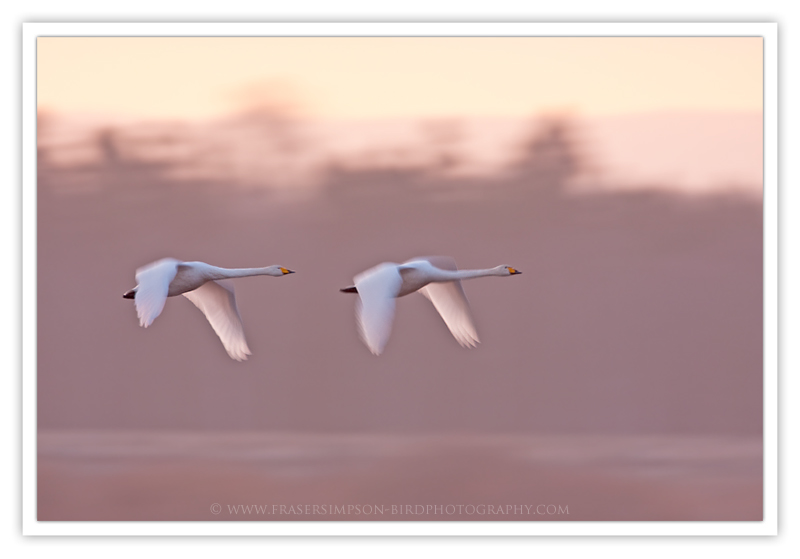 Whooper Swan photography � Fraser Simpson 2010
