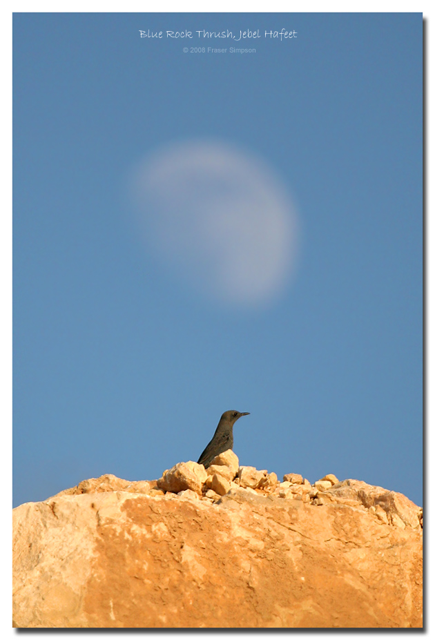 Blue Rock Thrush, Jebel Hafeet � Fraser Simpson