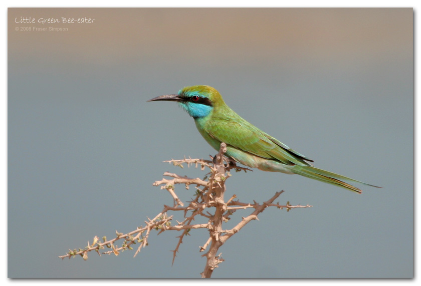 Little Green Bee-eater, Al Jazeerah Khor � Fraser Simpson