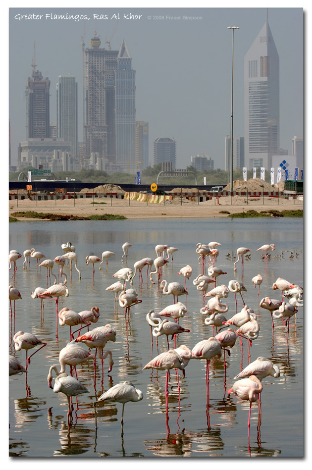 Greater Flamingos, Ras al Khor, Dubai � Fraser Simpson