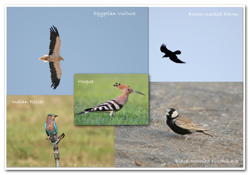Egyptian Vulture, Brown-necked Raven, Black-crowned Finch Lark, Indian Roller & Hoopoe � Fraser Simpson
