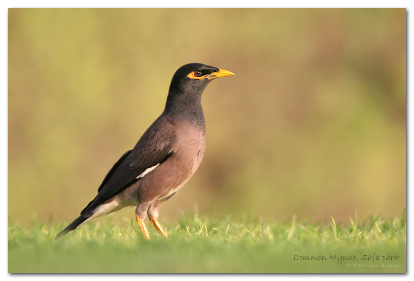 Common Mynah, Safa Park � Fraser Simpson