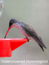 Violet-crowned Hummingbird © 2006  F. S. Simpson