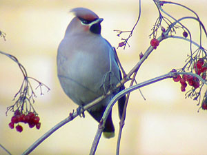 Waxwing ©Fraser Simpson