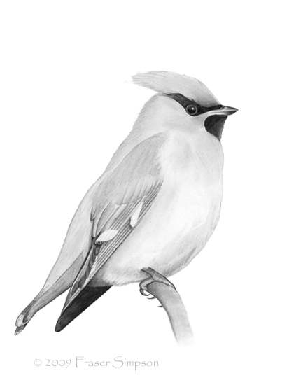 Bohemian Waxwing drawing © Fraser Simpson