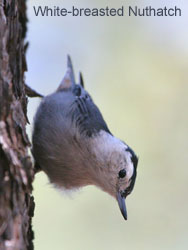 White-breasted Nuthatch © 2006  F. S. Simpson