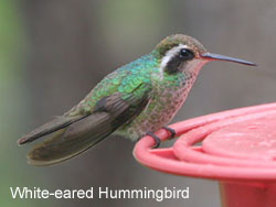 White-eared Hummingbird © 2006  F. S. Simpson