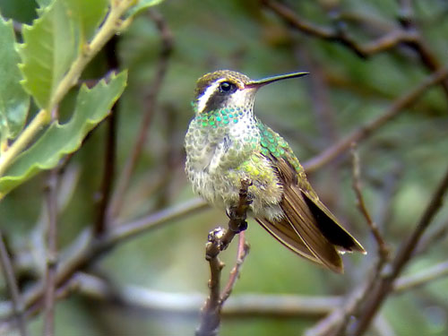 Phonescoped White-eared Hummingbird  © 2006 Fraser Simpson