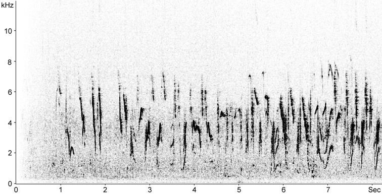 Sonogram of White Wagtail song