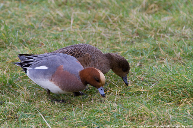 Wigeon grazing at London Wetland Centre � Fraser Simpson