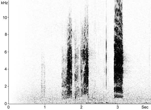 Sonogram of Woodchat Shrike calls