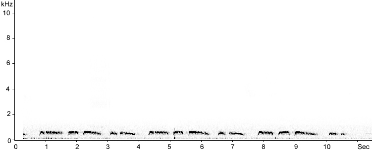 Sonogram of Feral Pigeon song
