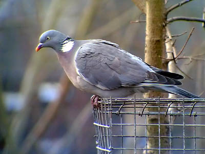 Phonescoped Wood Pigeon �06 Fraser Simpson