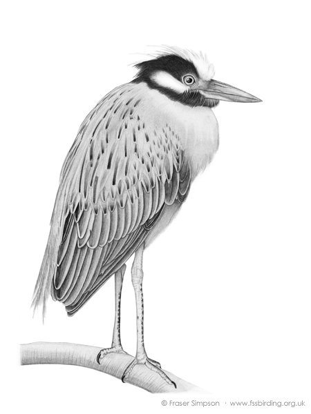 Yellow-crowned Night Heron drawing � Fraser Simpson
