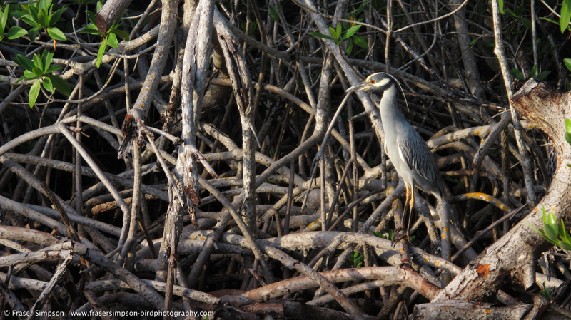 Yellow-crowned Night-Heron (Nyctanassa violacea), Summerland Key © Fraser Simpson