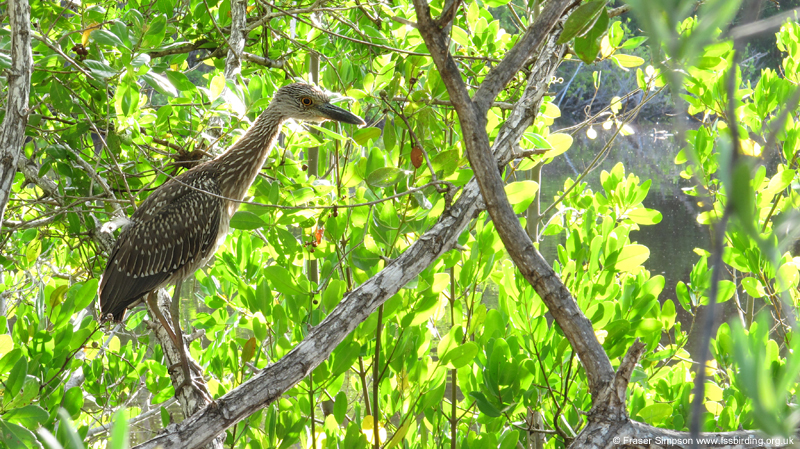 Juvenile Yellow-crowned Night-Heron (Nyctanassa violacea) © Fraser Simpson 2014