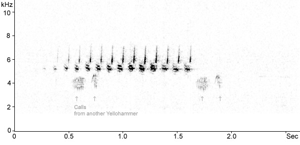 Sonogram of Yellowhammer song