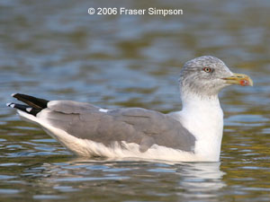 Yellow-legged Gull ©2006 Fraser Simpson