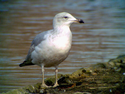 Phonescoped Yellow-legged Gull ©2006 Fraser Simpson