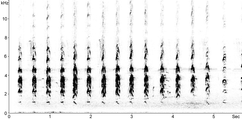 Sonogram of Black-winged Stilt flight calls