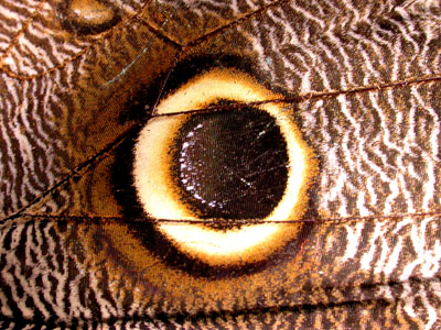 Caligo Butterfly Eyespot