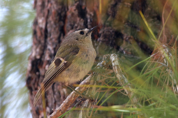 Canary Islands Kinglet  Regulus teneriffae ©2006 Fraser Simpson