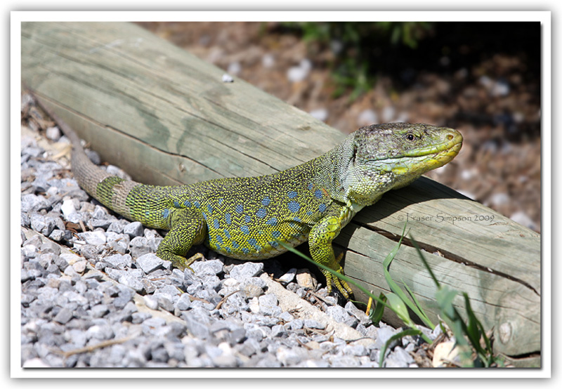 Ocellated Lizard, Lacerta lepida © 2009 Fraser Simpson
